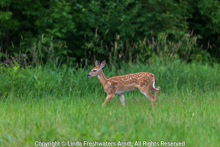 White-tailed fawn walking in a meadow in northern Wisconsin.