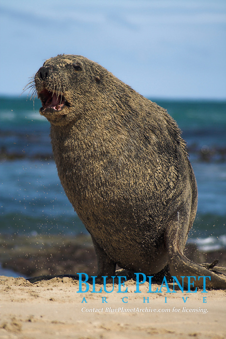 New Zealand Hooker's sea lion, Phocarctos hookeri, endangered, endemic, Otago Peninsula, New Zealand, South Pacific Ocean