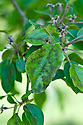 Apple scab is a fungal disease that produces irregular blotches or spots on affected leaves. They may be dark green or brown, perhaps turning grey or black in the centre.