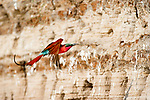 Southern carmine bee-eater (Merops nubicoides) returning to nest hole in river bank, Luangwa River, South Luangwa National Park, Zambia, October