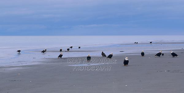 Bald Eagle, Haliaeetus leucocephalus, group at beach, Homer, Alaska, USA, March 2000