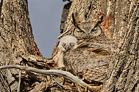 Great Horned Owls (Bubo virginianus)--mother with young owlet.  Oregon, spring.
