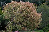 Hakea salicifolia 'Gold Medal' Willow-Leaved Hakea, Koala Blooms Australian shrub in UC Santa Cruz Arboretum and Botanic Garden