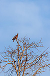Immature bald eagle in northern Wisconsin.