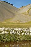 Cotton Grass, Grundarfjordur, West Fjords, Iceland