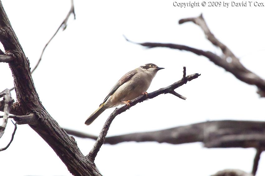 Brown-Headed Honeyeater, near Arkaroo Rock,  Flinders Range, SA, Australia