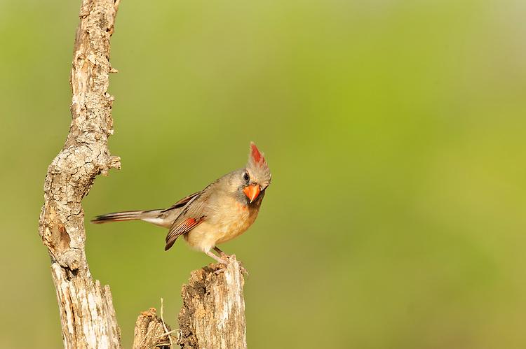 Female Cardinal on the Laguna Sequa Ranch; McAllen, TX