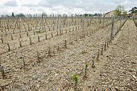 New densely planted vineyard 13,500 vines / ha chateau la garde pessac leognan graves bordeaux france