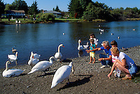 Family feeding Flock of Mute Swans (Cygnus olor) at Esquimalt Lagoon Migratory Bird Sanctuary, Colwood, near Victoria, Vancouver Island, BC, British Columbia, Canada