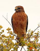 Adult red-shouldered hawk