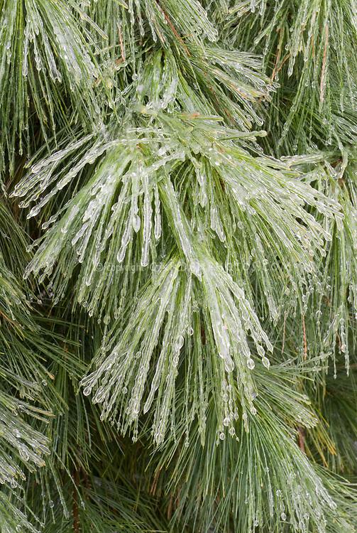 Pinus strobus in winter snow ice, pine tree needles evergreen iced