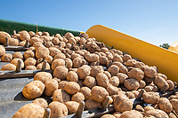 Lifting potatoes with four row self propelled Ploeger harvester - Lincolnshire, August