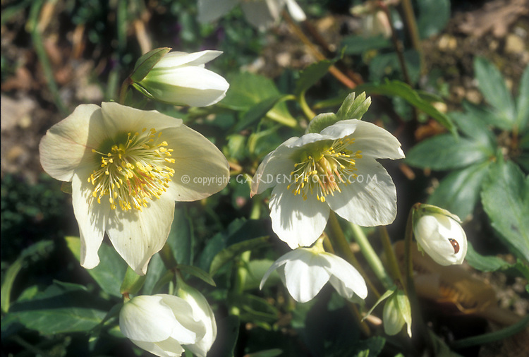 Helleborus niger species hellebore