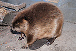 North American Beaver sitting on land eating facing left