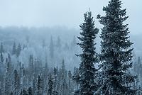 Black Spruce trees enshrouded in ice fog outside UAA's Fine Arts Building.