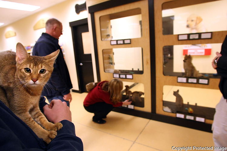 A cat is one of the many small and medium sized pets for sale at Raining Cats and Dogs LLC in Redmond, Wash. December 9, 2008.  Store owner Irv Giesler isn't sure how the possible King County ordinance would affect their grooming or retail business where dogs are kept in kennels. (Karen Ducey/Seattle Post-Intelligencer)
