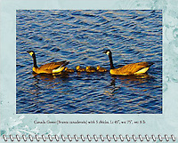 """May of the 2014 Birds of a Feather Calendar. Photo is called """"Canada Geese at Starry Dusk"""".  A family of Canada Geese (Branta canadensis) with 5 chicks is swimming on a lake that is rendered from inspiration from Van Gogh's """"Starry Night"""" painting.  The water has ripples and waves that mimic paintbrush strokes.  Photo taken at sunset during golden hour in the Ridgefield National Wildlife Refuge."""