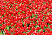 Field of red tulips . Mt. Vernon. Washington