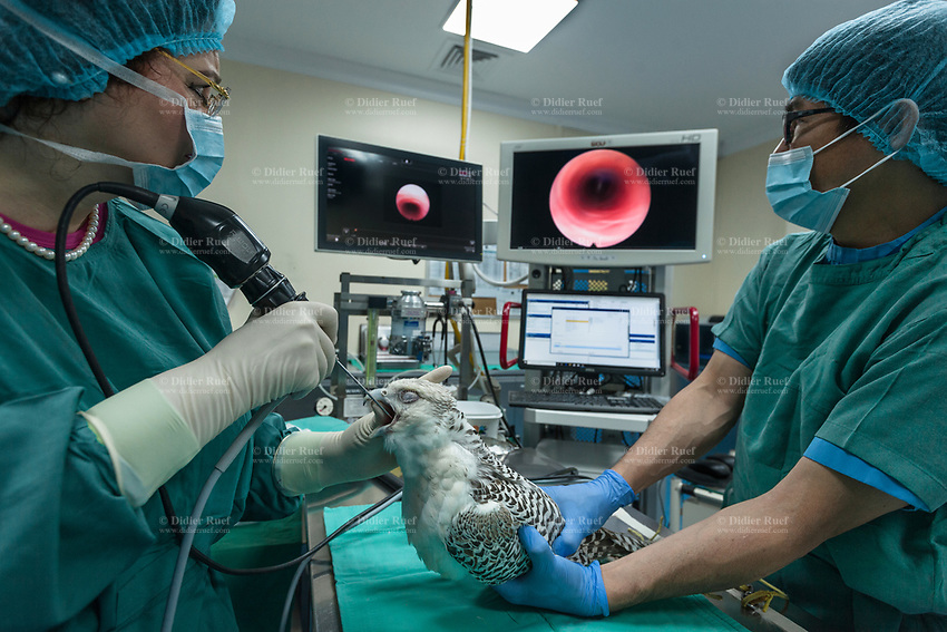 """United Arab Emirates (UAE). Abu Dhabi Falcon Hospital. Operating room. The Dr. med. vet. Margit Gabriele Muller (L) with her assistant (R) during an endoscopy on a Gyr-Saker falcon. An endoscopy is used in medicine to look inside the body. The endoscopy procedure uses an endoscope to examine the interior of a hollow organ or cavity of the body. Unlike many other medical imaging techniques, endoscopes are inserted directly into the organ. Originally from Germany, Dr. med. vet. Margit Gabriele Muller (MRCVS) is the executive director of the falcon's hospital. The hospital is considered the leading center in the world for falcon medical care. It is equipped with everything a hospital requires for treating humans, except that the patients have wings. Falcons are birds of prey in the genus Falco, which includes about 40 species. Adult falcons have thin, tapered wings, which enable them to fly at high speed and change direction rapidly. Additionally, they have keen eyesight for detecting food at a distance or during flight, strong feet equipped with talons for grasping or killing prey, and powerful, curved beaks for tearing flesh. Falcons kill with their beaks, using a """"tooth"""" on the side of their beaks. The United Arab Emirates (UAE) is a country in Western Asia at the northeast end of the Arabian Peninsula. 19.02.2020  © 2020 Didier Ruef"""