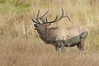 Bull Elk bugling during rut in Rocky Mountain National Park, Colorado