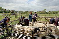 Learning how to handle sheep.  14-16yr olds on the School Link Project doing Animal Care at F.E.College.