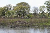 Biber, Burg eines Bibers, Biberburg, Biber-Burg im Röhricht eines Tümpels, Elbe, Castor fiber, European beaver, Castor d´Europe