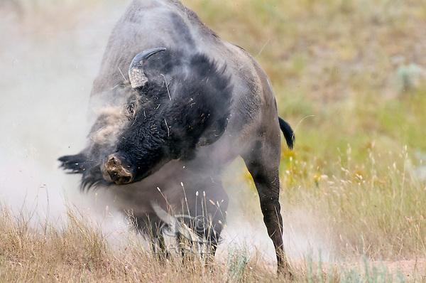 American bison (Bison bison) bull wallowing during summer mating season.