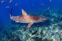 Caribbean Reef Shark at Jardines de la Reina, Cuba