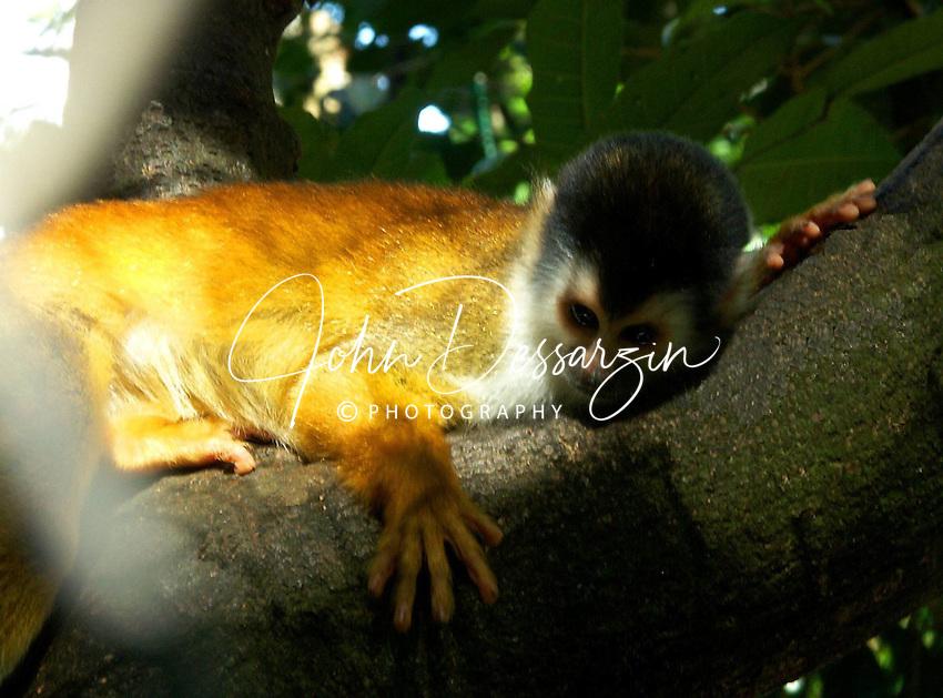 Red Squirrel Monkey