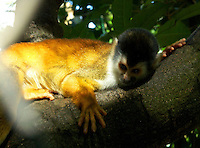 Red Squirrel Monkey
