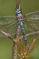 339220003 a wild male arroyo darner rhionaeschna dugesi perches on a small tree branch near a creek in scotia canyon cochise county arizona united states