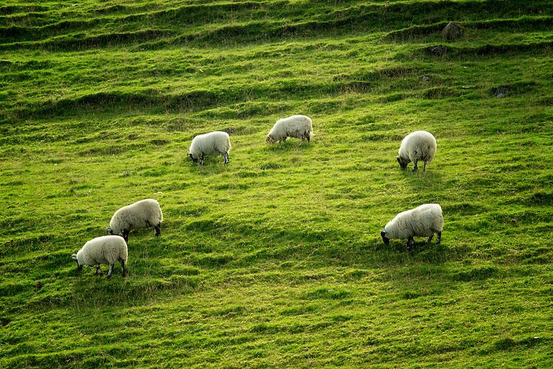 Sheep grazing on hillside. Glenariff. Northern Ireland.