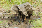 African Forest Elephant (Loxodonta africana cyclotis) bull splashing mud on himself for protection against insects, Lope National Park, Gabon