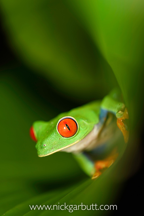 Female red-eyed tree frog (Agalychnis callidryas) - Caribbean slope race (blue flanks). Mid-altitude rainforest near Aranal, central Costa Rica.