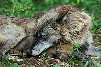 Mw812  Gray wolf or timber wolf mom resting with young pup.