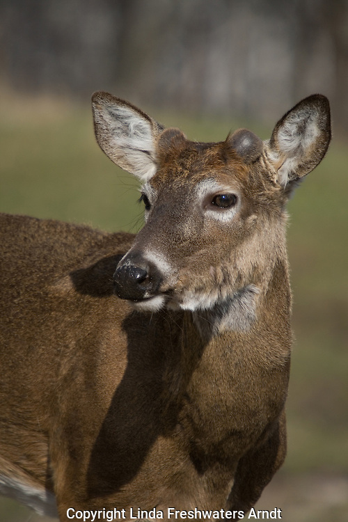 White-tailed buck in spring