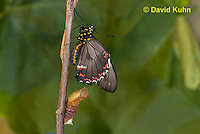 1021-0805  Polydamas swallowtail Recently Emerged from Chrysalis (Life Cycle Series), Battus polydamus  © David Kuhn/Dwight Kuhn Photography.