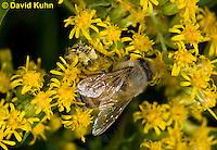 "1210-0904  Camouflaged Ambush Bug (Phymata spp.) Adult on Goldenrod Hunting and Grabbing a Honeybee (Apis mellifera) ""Virginia""  © David Kuhn/Dwight Kuhn Photography"