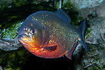 Red-bellied piranha full body view 45 degrees to camera facing left.