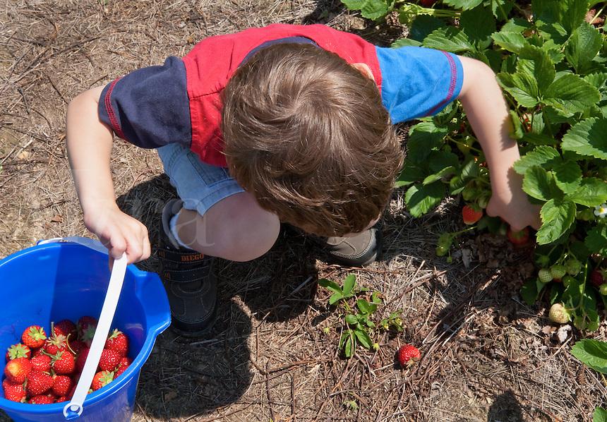 Little boy picking strawberries