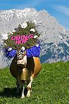 Austria, Tyrol, Soell: return of livestock from high alpine summer pastures