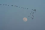 A flock of sandhill cranes fly across the evening sky, backdropped by the moon in Nebraska.
