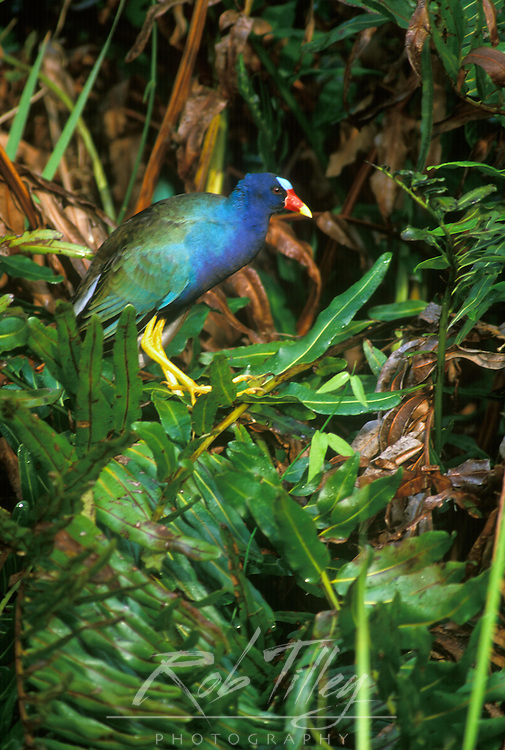 Purple Gallinule, Everglades NP, FL, USA