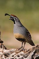 Gambel's Quail, Callipepla gambelii, male,Tucson, Arizona, USA