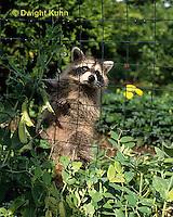 MA25-279z   Raccoon - young raccoon exploring, finding food (peas) in garden - Procyon lotor