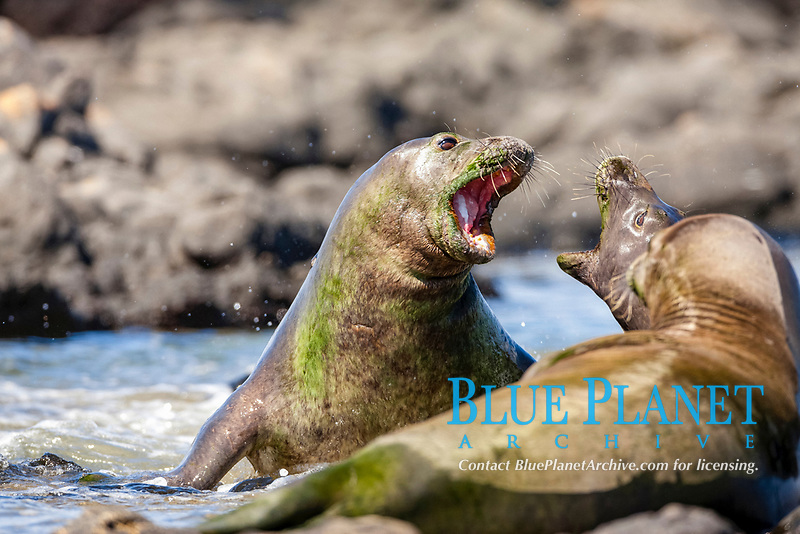 Hawaiian Monk Seals Fighting, Neomonachus schauinslandi, critically endangered, endemic, Oahu, Hawaii, USA, Pacific Ocean