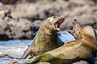 Hawaiian Monk Seals Fighting, Neomonachus schauinslandi, critically endangered, endemic, Oahu, Hawaii, USA, Pacific Ocean