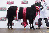 Brecon Show Potential show & Sale,Brecon Livestock Market<br /> Heifer and overall champion Little Miss P owned by P L & O J Watkins sold for £5000 to the judge Mr Blair Dufton <br /> Picture Tim Scrivener 07850 303986<br /> ….covering agriculture in the UK….