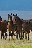 647980002v a small herd of wild horses equus ferus feed and graze on the open plains near river springs in mono county california