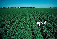 Two farmers at work inspecting a soybean crop during early growth. Arkansas.